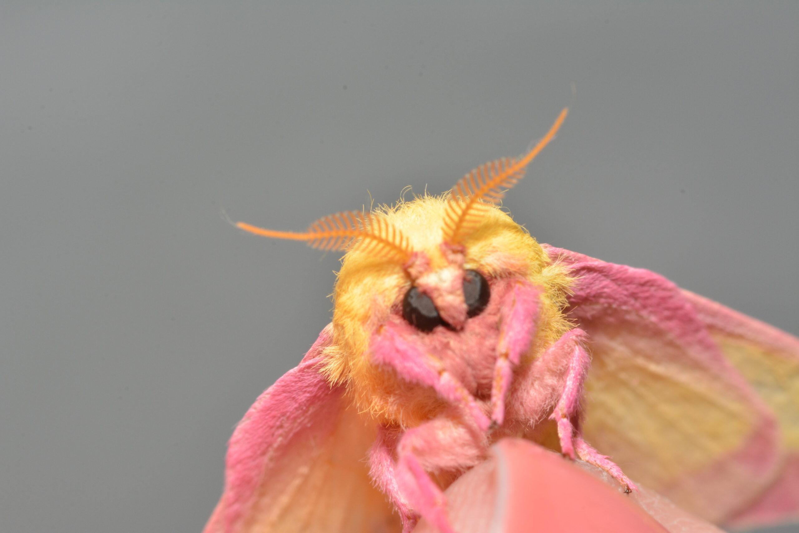 Ohio Lepidopterists